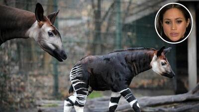 En honor a Meghan Markle el Zoológico de Londres bautiza a un animal en peligro de extinción