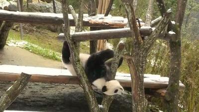 Mira cómo disfrutan estos dos pandas de la primera nevada del año en China