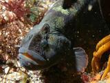 El 'pez picudo cara de mono' que puede convertirse en un alimento sostenible para los humanos
