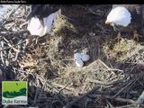 Los entusiastas de la naturaleza podrán observar el nacimiento de polluelos de águila calva