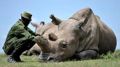 Más de 1,000 rinocerontes fueron asesinados en Sudáfrica, por cuarto año consecutivo