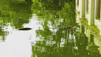 """El nuevo plan de las autoridades para dar con """"Tito"""", el escurridizo caimán de la laguna de Humboldt Park"""