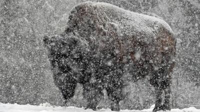 Algunos animales en Brookfield Zoo disfrutaron de la tormenta invernal el 14 de abril
