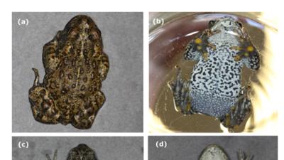 Decubrieron tres nuevas especies de sapos en EEUU y al menos una podrían estar en peligro de extinción
