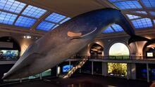 Museo de Historia Natural en Nueva York se convierte en un centro de vacunación