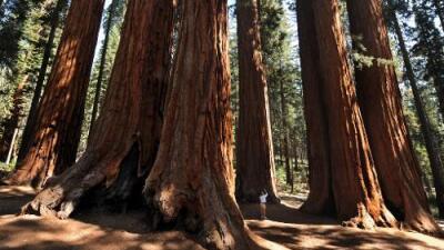 Los árboles milenarios del Bosque Nacional Sequoia en California