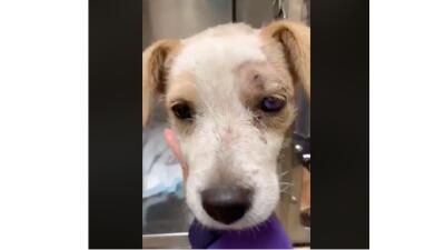 En fotos: Oakley, la perrita que sobrevivió después de recibir tres disparos en la cabeza