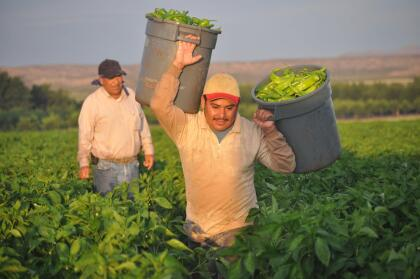 """Hatch, NM, US--July 30, 2013. Mexican farmworkers (known as """"chileros"""") harvesting New Mexico's famed green chile."""
