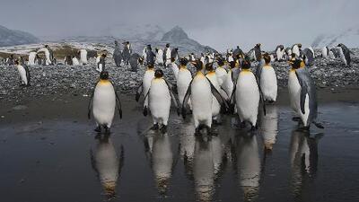 Exilio o muerte para el pingüino rey debido al cambio climático