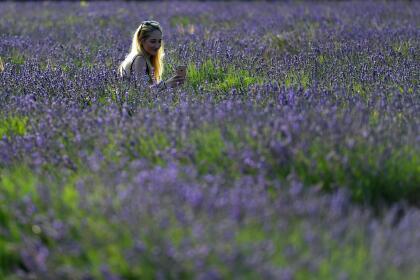 En la Edad Media, flores de lavanda fueron cultivadas y usadas por monjes como hierbas medicinales. Las flores se hicieron populares en Inglaterra durante el reinado de Enrique VIII, cuando usaban la lavanda para endulzar el olor de la ropa de cama, el aire de la habitación e incluso para pulir los muebles.