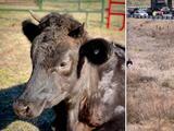 LEOna, una vaca fugitiva de Georgia, encuentra un nuevo hogar en santuario de Nueva Jersey