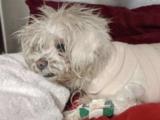 Intentan salvar la vida de un perro en California con quemaduras químicas en el 50% de su cuerpo