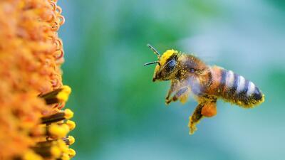 Más de 12,000 personas instan a la Legislatura de Texas prohibir pesticidas que matan a las abejas