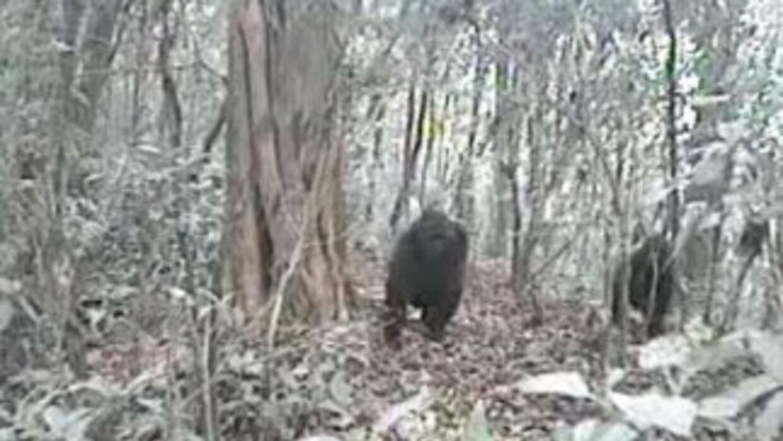 Graban al gorila más raro del mundo en montañas de Camerún ...