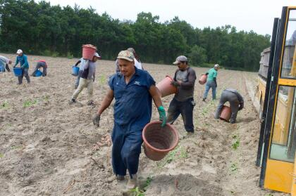 Migrant farm workers work in a field harvesting sweet potatoes. The agricultural fields of rural Eastern North Carolina produce bountiful crops for America's food markets, as well as most of the tobacco grown in America. These crops are harvested by migrant farm workers, mostly from Mexico, some of who have seasonal work visas and some of who are undocumented. Some farm workers settle in the area, while others migrate with the winter harvest to Florida or return to Mexico. Thousands of miles fro (Photo by Andrew Lichtenstein/Corbis via Getty Images)