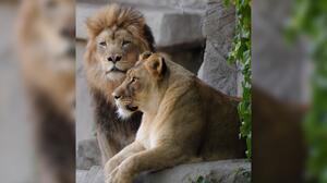 Muere leona del zoológico de Brookfield dos semanas después de que sacrificaran a su compañero por 11 años