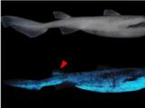 Tiburones luminiscentes: un sorprendente hallazgo en las zonas más profundas del mar