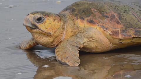 Rescatan a una tortuga marina de una muerte segura por una infección