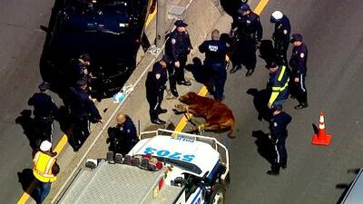 Policías capturan vaca que andaba suelta en El Bronx
