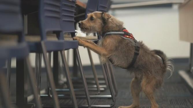 Autoridades del sur de Florida entrenan perros para lograr detectar casos positivos de coronavirus
