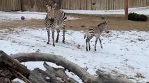 Zoológico de Salt Lake City pide ayuda para dar nombre a su cebra recién nacida