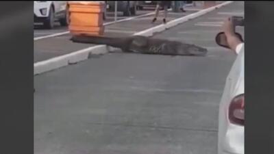 Momento insólito: un enorme cocodrilo se pasea por las calles de Tampico, México