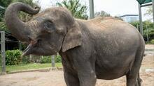 Zoológico de Houston espera nuevo integrante: Elefante asiática está embarazada