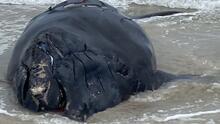 """""""Este es un acontecimiento muy triste"""": hallan muerta a ballena bebé en vía de extinción en Florida"""