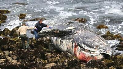Diez ballenas muertas en dos meses: ¿por qué todas son arrastradas a la bahía de San Francisco?