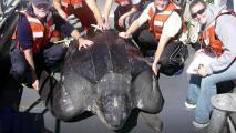 """Tortugas """"espalda de cuero"""", el gigante marino de California que ha vivido 80 millones de años"""