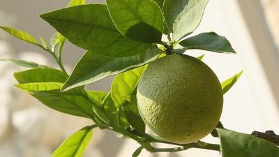 Conozca los beneficios del limón para resaltar la belleza femenina