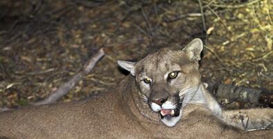 Oficial dispara a un león de montaña que perseguía a una pareja y sus hijos