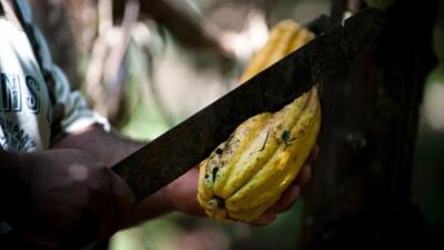 La resurrección del cacao al rescate de Venezuela