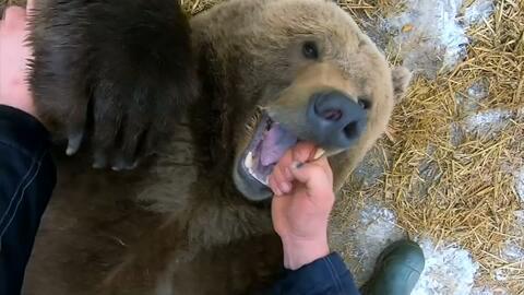 Conoce al inmenso oso pardo que es la mascota de una base aérea Rusa