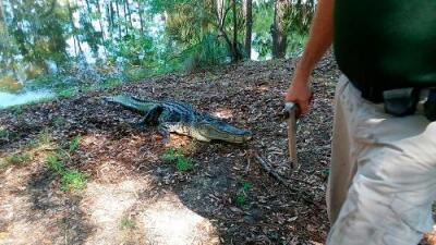 Un caimán de 8 pies mata a una mujer que intentó defender a su perro