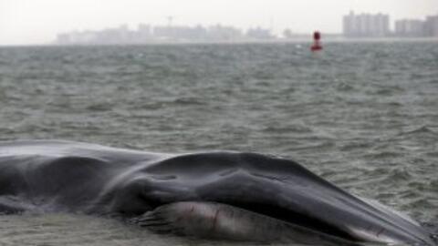 Mueren 4 ballenas y otras 30 quedan varadas en una playa del sur de Florida