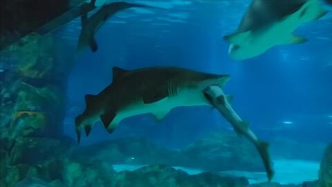 Increíble video capta el momento en que un tiburón se come a otro en un acuario