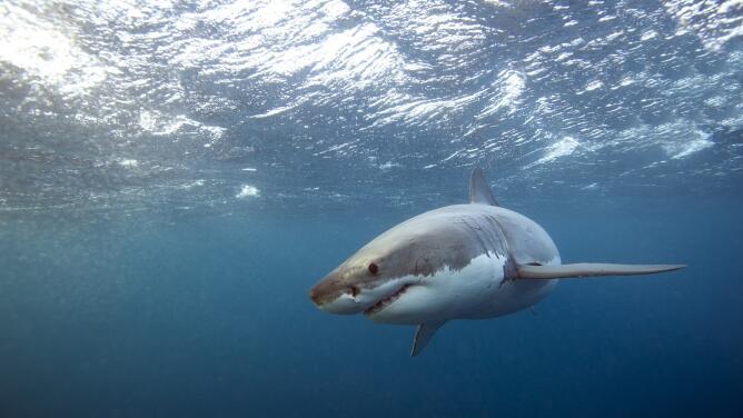 La verdad tras los mitos del tiburón blanco