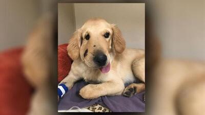 Este perro salvó a su dueña de ser mordida por una serpiente cascabel y ahora se recupera de sus heridas