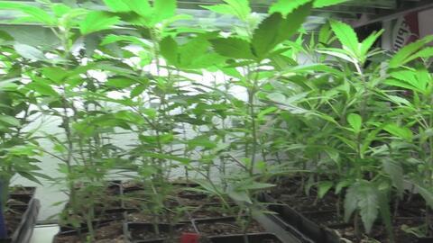 Polémica por aprobación de nuevos dispensarios de marihuana por el concejo de Modesto
