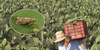 Una plaga amenaza los cultivos denopales en México y científicos en Texas luchan para evitar que llegue
