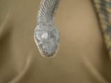Esta es la inofensiva serpiente que comúnmente es confundida con una cascabel en Texas