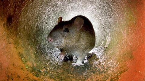 Denuncian infestación de ratas y cucarachas en la primaria Villa Park del condado Orange
