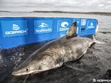 Rastrean enorme tiburón blanco deambulando las costas del sur de Florida