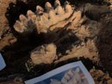 Un guardabosques halla algunos de los fósiles más inmensos de la historia de California