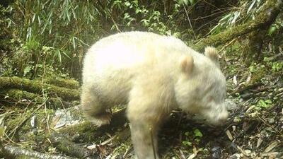 Por primera vez, un panda albino es fotografiado en su hábitat natural (y sucedió en China)