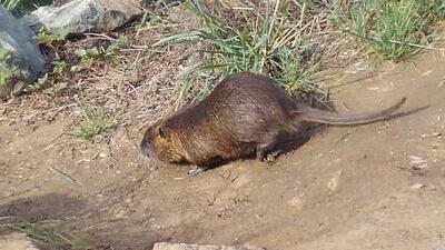 Granjeros de California en alerta por aumento de nutrias, roedores enormes que dañan los sistema de agua