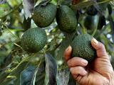 ¿Qué tiene que ver el narco con el aumento de precio del guacamole?