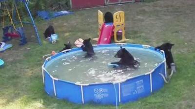 Familia de osos acalorados aprovechan y se zambullen en una piscina en Nueva Jersey