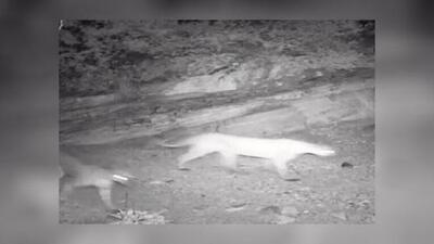 Captan una leona de montaña con sus crías en un área recreacional en Arizona